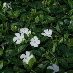 Vrtnarstvo Breskvar - Vinca minor Colada