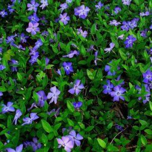 Vrtnarstvo Breskvar - Vinca minor