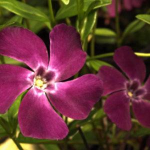 Vrtnarstvo Breskvar - Vinca minor Verino