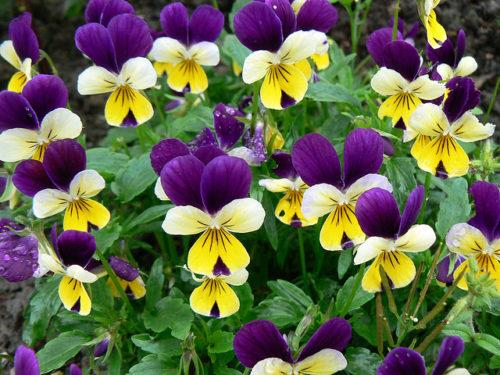 Vrtnarstvo Breskvar - Viola cornuta