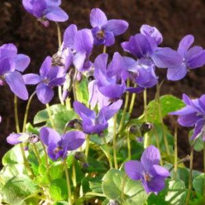 Vrtnarstvo Breskvar - Viola odorata Konigin Charlotte