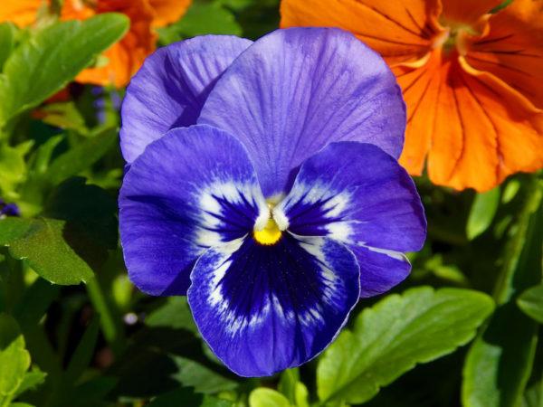 Viola witrockiana - Vrtnarstvo Breskvar