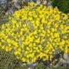 Vrtnarstvo Breskvar - Vitaliana primuliflora