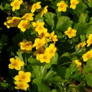 Vrtnarstvo Breskvar - Waldsteinia ternata