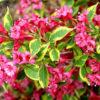 Vrtnarstvo Breskvar - Weigela florida Brigela