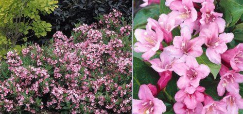 Vrtnarstvo Breskvar - Weigela florida Pink Poppet