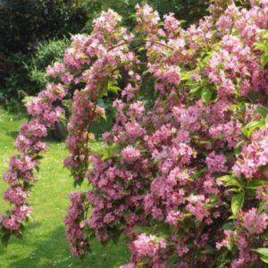 Vrtnarstvo Breskvar - Weigela florida Styriaca
