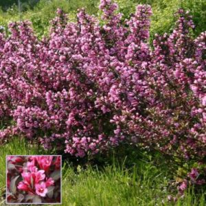 Vrtnarstvo Breskvar - Weigela Nana Purpurea