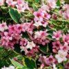 Vrtnarstvo Breskvar - Weigela Nana Variegata