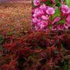 Vrtnarstvo Breskvar - Weigela florida Wings of Fire
