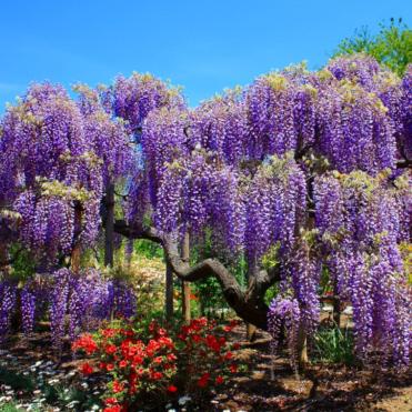 Vrtnarstvo Breskvar - Wisteria floribunda Violacea Plena