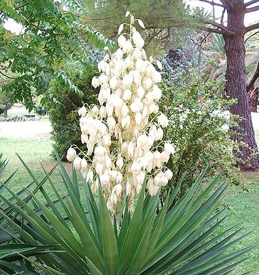 Vrtnarstvo Breskvar - Yucca aloifolia