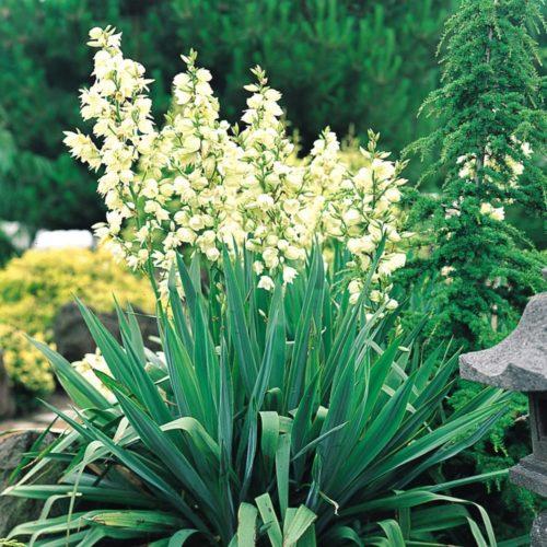 Vrtnarstvo Breskvar - Yucca filamentosa