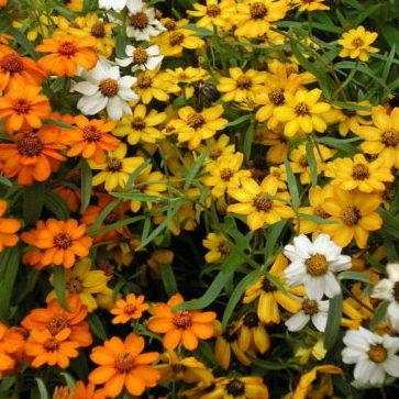 Vrtnarstvo Breskvar - Zinnia angustifolia
