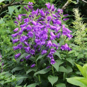 Campanula Latifolia var. marcantha - Vrtnarstvo Breskvar