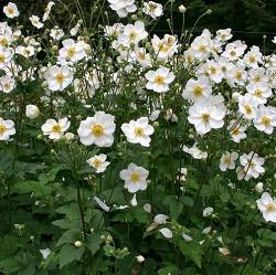 Anemone Japonica Honorine Jobert - Vrtnarstvo Breskvar