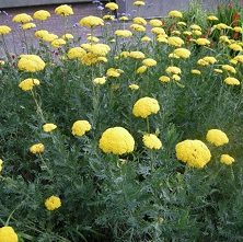 Achillea Filipendulum 'Cloth of Gold'- Vrtnarstvo Breskvar