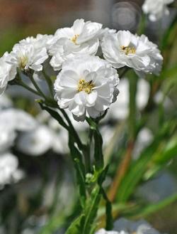 Achillea Ptarmica The Pearl - Vrtnarstvo Breskvar