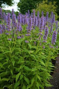 Agastache Rugosa Blue Fortune - Vrtnarstvo Breskvar