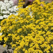 Alyssum Saxatile Compactum Goldkugel - Vrtnarstvo Breskvar