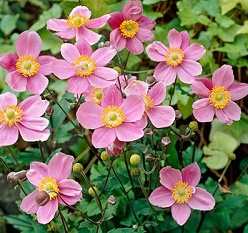 Anemone hupehensis September charm - Vrtnarstvo Breskvar