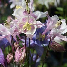 Aquilegia caerulea McKana - Vrtnarstvo Breskvar