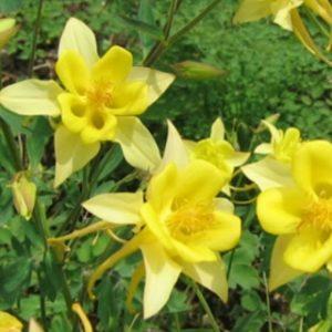 Aquilegia chrysantha Yellow Queen - Vrtnarstvo Breskvar