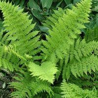 Athyrium filix-femina - Vrtnarstvo Breskvar