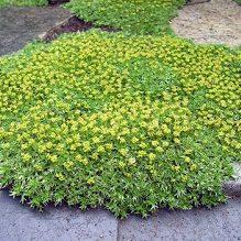 Azorela trifurcata minor - Vrtnarstvo Breskvar