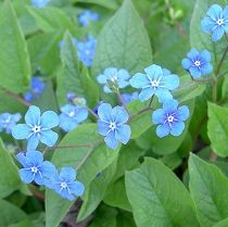 Brunnera macrophylla - Vrtnarstvo Breskvar