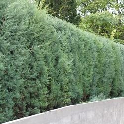 Curpressus arizonica - vrtnarstvo Breskvar