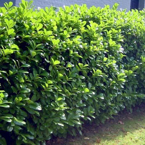 Prunus laurocerasus Novita- Vrtnarstvo Breskvar