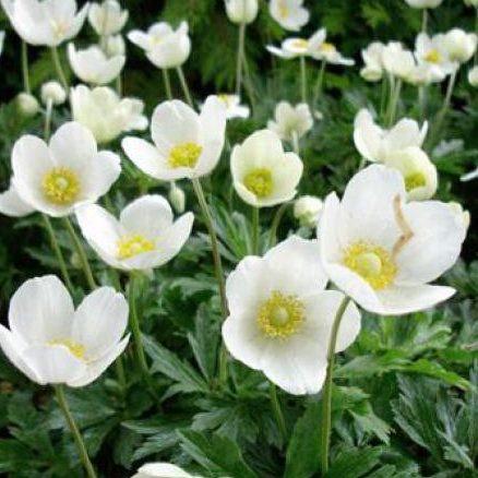Anemone Sylvestris - Vrtnarstvo Breskvar