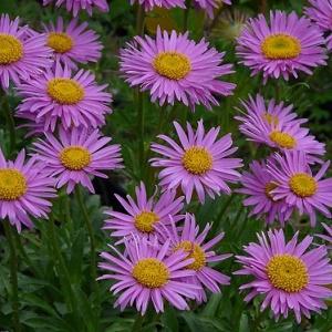 Aster Alpinus Happy end - Vrtnarstvo Breskvar