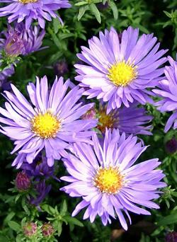 Aster Domosus Mittelmeer - Vrtnarstvo Breskvar
