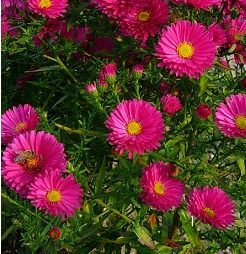 Aster Novi belgii Crimson brocade - Vrtnarstvo Breskvar