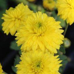 Chrysanthemum x hortorum 'Citronella' - Vrtnarstvo Breskvar