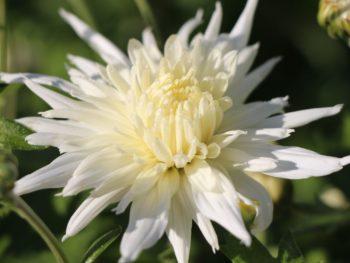 Chrysanthemum x hortorum 'Larry'- Vrtnarstvo Breskvar