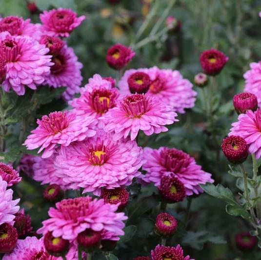 Chrysanthemum x Hortorum 'Mei Kyo' - Vrtnarstvo Breskvar