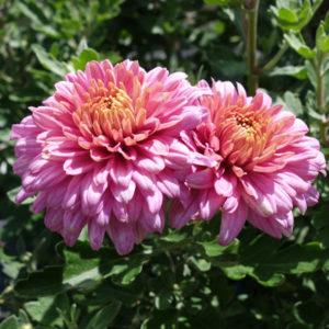 Chrysanthemum Hortorum Schlosstaverne - Vrtnarstvo Breskvar