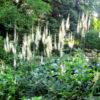 Cimicifuga racemosa var. cordifolia - Vrtnarstvo Breskvar