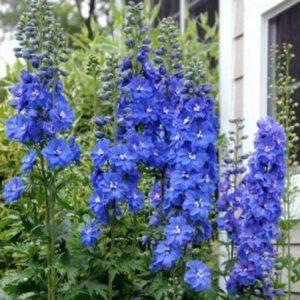 Delphinium Blue Bird - Vrtnarstvo Breskvar
