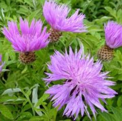 Centaurea dealbata - Vrtnarstvo Breskvar