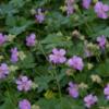 Geranium x cantabrigiense 'Karmina' - Vrtnarstvo Breskvar