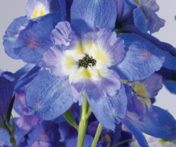 Delphinium grandiflorum 'Ocean Tiara Blue' - Vrtnarstvo Breskvar