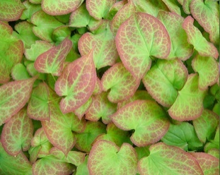 Epimedium rubrum - Vrtnarstvo Breskvar