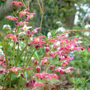 Epimedium x rubrum - Vrtnarstvo Breskvar