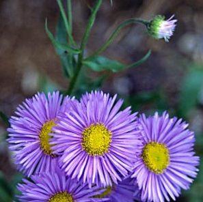 Erigeron speciosus 'Schöne Blaue'- Vrtnarstvo Breskvar