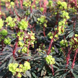 Euphorbia amygdaloides ´Purpurea´ - Vrtnarstvo Breskvar