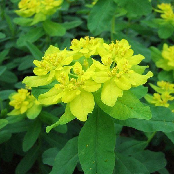 Euphorbia polychroma - Vrtnarstvo Breskvar
